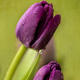 Purple Tulips by Ida Burress - Flowers Flower Arangements ( flowerphotography, purpleflower, macro, purpletulips, tulips2, tulip, purpletulip, tulips, flowers, macro100mm, flower )