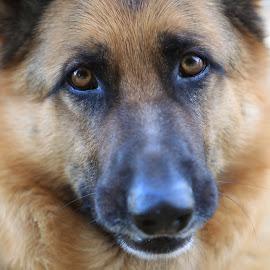 SOULFUL EYES by Diana Cantey - Animals - Dogs Portraits ( zajaddi egyptian arabians, castlebrook shephards, diana cantey photography, diana cantey, rommel,  )