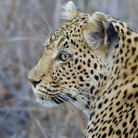 Side profile by Sean de la Harpe-Parker - Animals Lions, Tigers & Big Cats ( big cat, predator, big cats, south africa, wildlife, kruger, leopard )