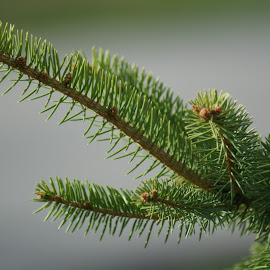 Pine Branch by Darlene Pavek - Nature Up Close Trees & Bushes ( branch, pine )