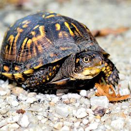 Turtle On by Mark Clark - Animals Reptiles ( shell, tortoise, white, yellow, gravel, turtle, markings )