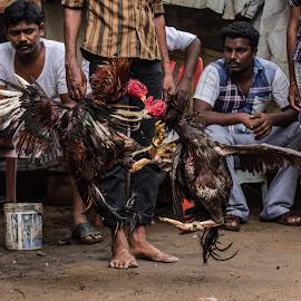 SEVAL SANDAI by Rajasekaran Ramachandran - Sports & Fitness Other Sports ( fight, tradition, hobby, birds, chennai )