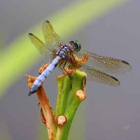 Dragon Fly Resting  by Clare Suhanich - Animals Insects & Spiders