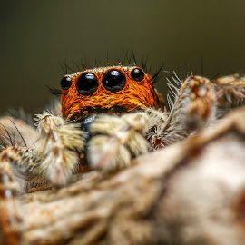 The Jumper by Hansen Majaya - Animals Insects & Spiders ( macro, indonesia, jumping spider, spider, close up, hair, jumper )