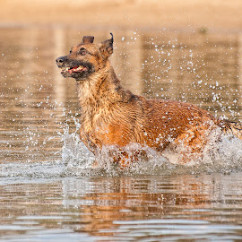 Fun by Wilma Heuvel - Animals - Dogs Running ( animals, dogs, honden, mallinois, dieren, dog, mechelse herder )