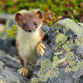 Quick small buster by Ronnie Bergström - Animals Other ( nikon, quick, ermine, hermelin, green, nature, norway, varanger, animals, landscape, stone )