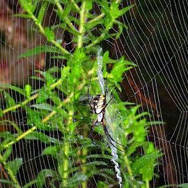 Garden Spider in the Garden by Tina Dare - Nature Up Close Webs ( macro, web, nature, spiderweb, spider )