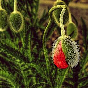 It's already red by Vláďa Lipina - Flowers Flower Buds