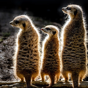 Harmony by Thorsten Scheel - Animals Other Mammals ( zoo, meerkat, hof )