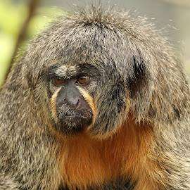 Saki  by Ralph Harvey - Animals Other Mammals ( chessington zoo, wildlife, ralph harvey, monkey, animal )
