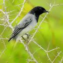 Black-headed cuckooshrike- Male