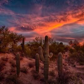 Tucson Tonight by Charlie Alolkoy - Landscapes Deserts ( desert, sunset, arizona, tucson, saguaro, cactus )