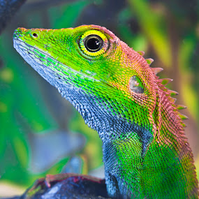 Chameleon by Jun Santos - Animals Reptiles