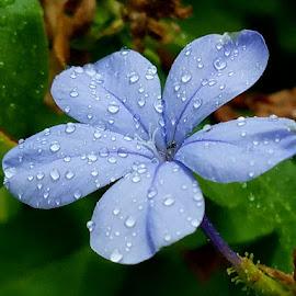 Blue plumbago back gate by Jeffrey Lee - Flowers Flower Gardens