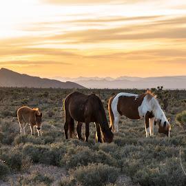 Wild horses  by Juan De Leon - Animals Horses ( wild, desert, cold, grazing, horses, cold creek, nevada, sunset, creek, backdrop )