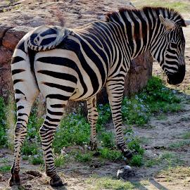 The Zebra by Richard Roberts Jr. - Animals Other Mammals ( safaris, animals, animal kingdom, disney world, nature, safari, nature photography, zebra, disney, animal, zebras )