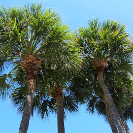 Under Five Florida Palms by Kathy Rose Willis - Nature Up Close Trees & Bushes ( blue sky, florida, green, palm trees, trees )