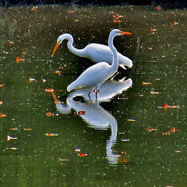 Two Heads Are Better Than One by Howard Sharper - Animals Birds ( reflections, bird photography, nature up close, egrets, wildlife,  )