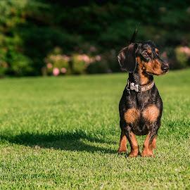 Duchshund by Audra Barabas - Animals - Dogs Portraits
