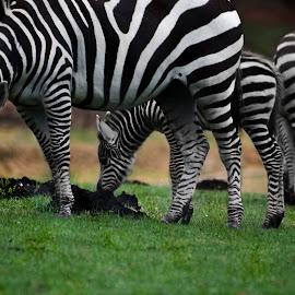 Zebra Family by Rachel Williams - Animals Horses ( greater than gatsby, calf, zebra, zebras,  )
