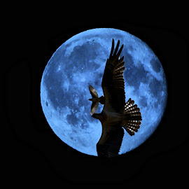 Osprey from the Moon by Don Mann - Digital Art Animals