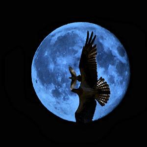 Osprey kingbird Moon 2 (2).JPG
