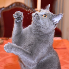 Joconde de Ventadour playing  by Isabelle Ebens - Animals - Cats Playing ( cat, chartreux )