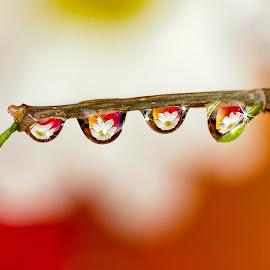 Raindrops by Atanas Donev - Nature Up Close Natural Waterdrops ( macro, drops, reflections, flowers )