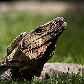 by Paul Scullion - Animals Reptiles ( pose, lizard, warm, iguana, iggy, sun )