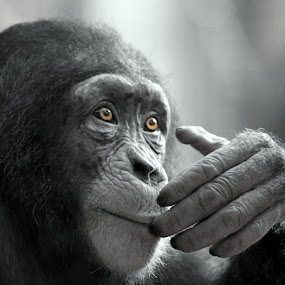 chimpanzee by Becky Wheller - Animals Other Mammals ( chimpanzee, black and white, closeup, monkey, eyes, animal )