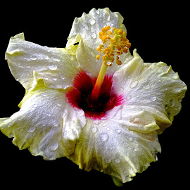 Hibiscus  by Asif Bora - Flowers Flowers in the Wild (  )