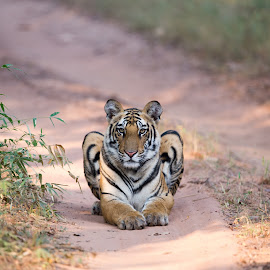 Crouching Tiger by Jitender Govindani - Animals Lions, Tigers & Big Cats ( tiger, wildlife, india, bandhavgar, cub )