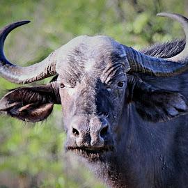 Buffalo Portrait by Pieter J de Villiers - Animals Other