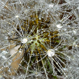 Dandelion seedhead by Denton Thaves - Nature Up Close Natural Waterdrops ( dandelion seedhead )