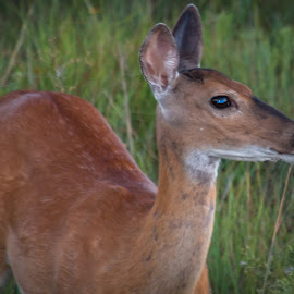Doe Eyed by Kathy Suttles - Animals Other Mammals