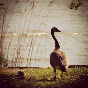 by Joey Chen - Instagram & Mobile Instagram ( duckling, canadian goose )