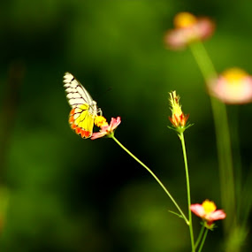 Butterfly by Sudipta Mukhopadhyay - Novices Only Wildlife