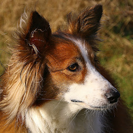 My Best Side! by Chrissie Barrow - Animals - Dogs Portraits ( long haired, white, portrait, female, pet, sheltie cross, ears, fur, dog, nose, tan, eye, profile )