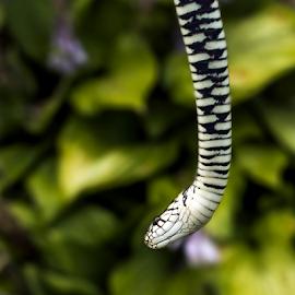 by Laimonas Šepetys - Animals Reptiles