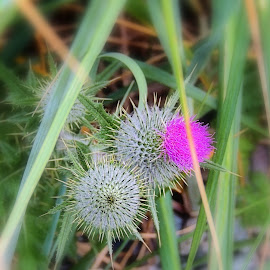 Canadian Thistle by Becky Luschei - Flowers Flowers in the Wild ( wild flower, shoot, canadian thistle, image, beach, fishing )