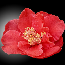 WI camellia 08 by Michael Moore - Flowers Single Flower (  )
