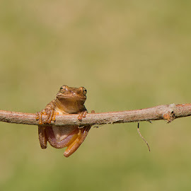Just hangin around by Wade Grassedonio - Animals Amphibians ( cute frog, hanging, frog, cute, frogs )