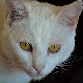 White cat by D'Arcy Evans - Animals - Cats Portraits ( cat, single, white, whiskers, portrait )