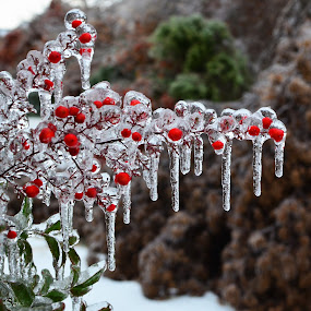 by Freddie Meagher - Nature Up Close Trees & Bushes ( plant, red, winter, nature, cold, green, ice, frost, frozen, leaves, berries )