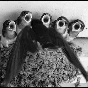 Barn Swallows-4.jpg
