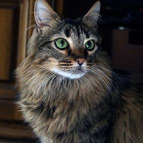 Who Me by Ken  Frischkorn - Animals - Cats Portraits ( cats, cat, pet, pets, feline )