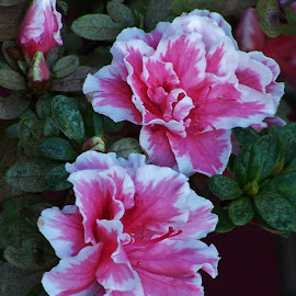 Pink Flowers by Sarah Harding - Novices Only Flowers & Plants ( plant, nature, novices only, garden, flower )