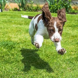 Henry by Steve Robinson - Animals - Dogs Puppies ( playing, puppy, dog, garden, running )