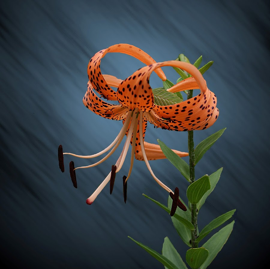 Single Tiger by Richard  Friedle - Nature Up Close Flowers - 2011-2013 ( lillies, flowers, tiger lilly )
