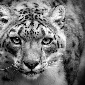 Snow Leopard Prowls B&W (Jun 18).jpg